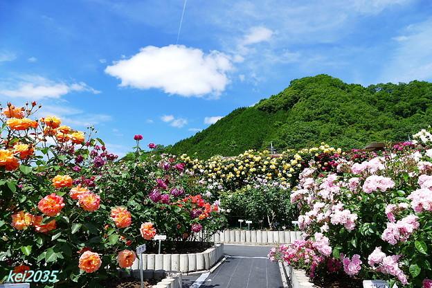 写真: 日笠バラ園 NO.1