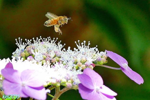 写真: 蜜蜂&紫陽花