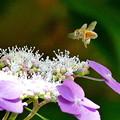 Photos: 蜜蜂&紫陽花