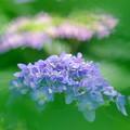 Photos: 紫陽花・色々
