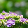 写真: 紫陽花色々