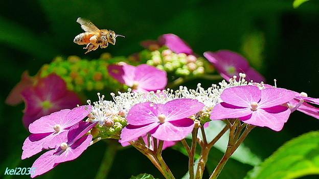 紫陽花&蜜蜂