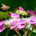 写真: 紫陽花&蜜蜂