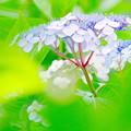 写真: 大滝山の紫陽花
