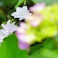 Photos: 大滝山の紫陽花