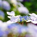 吉備津神社の紫陽花