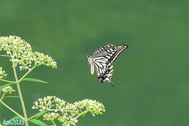 蝶の舞NO.1