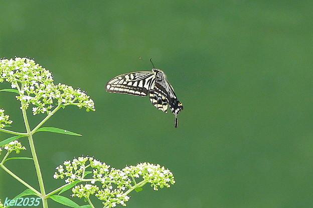 蝶の舞NO.2
