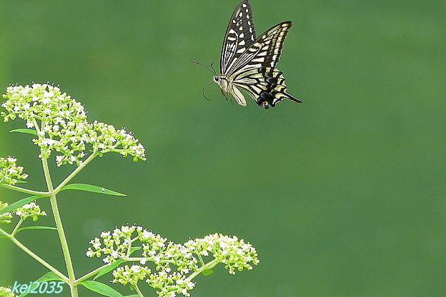 蝶の舞NO.3
