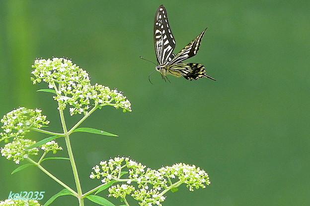 蝶の舞NO.4