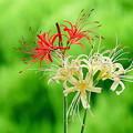 我が家の庭に咲く彼岸花