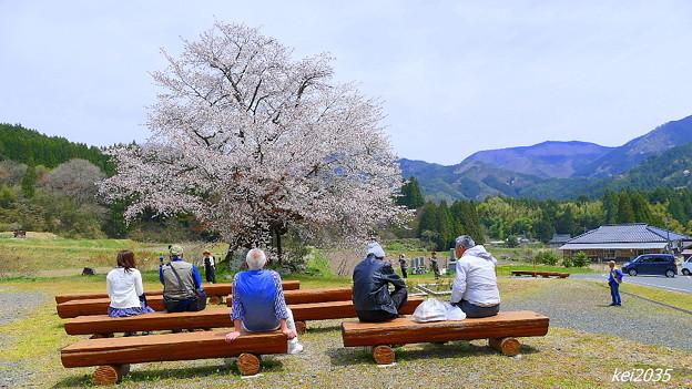 尾所の桜 (3)