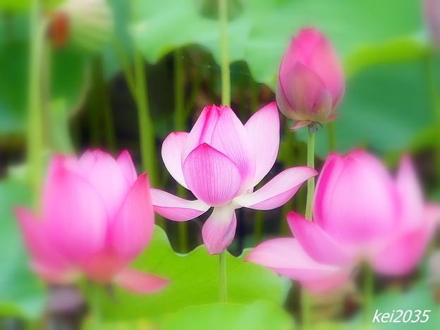 Photos: 高松城址公園の蓮
