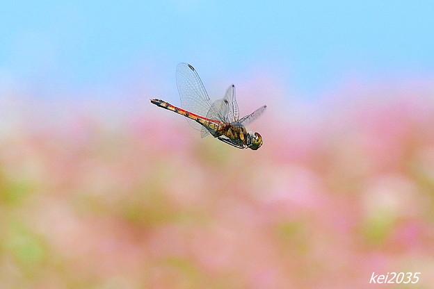 Photos: 蜻蛉の飛翔NO.3