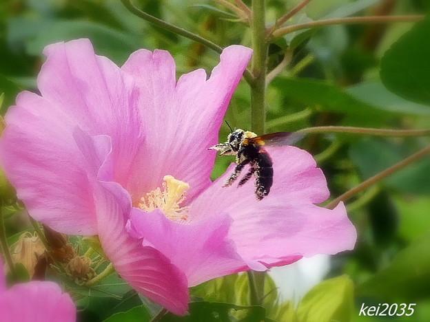 蜂&フヨウの花