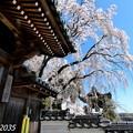 Photos: 千光寺の枝垂桜NO.3