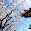Photos: 千光寺の枝垂桜NO.4