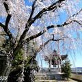 Photos: 津山市千光寺の枝垂桜NO.5