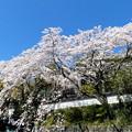 Photos: 津山市千光寺の桜NO.6