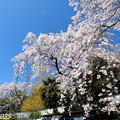 Photos: 津山市千光寺の桜NO.8