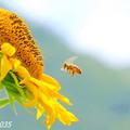 Photos: ひまわり&蜜蜂