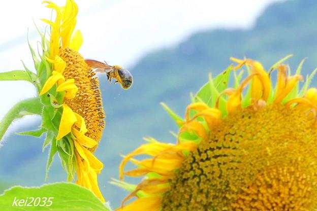 Photos: ひまわり&蜂