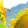 ひまわり&蜂