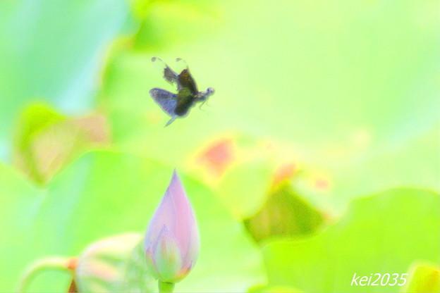 Photos: チョウトンボ&蓮