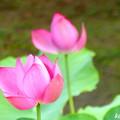Photos: 蓮