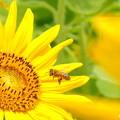 ひまわり&蜜蜂