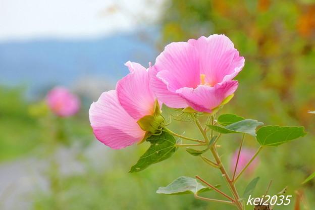 Photos: フヨウの花