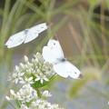 Photos: 蝶々