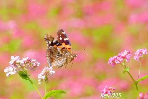 蝶と赤そば畑
