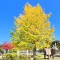 Photos: 自宅近くの公園の黄葉
