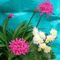 自宅庭に咲くリコリスと菊の花