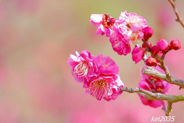 神崎梅園の紅梅