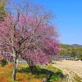 Photos: 梅のある風景