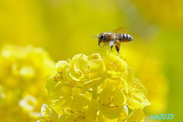 菜の花&蜜蜂