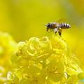 Photos: 菜の花&蜜蜂