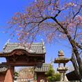 Photos: 妙林寺の河津桜