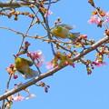 Photos: メジロ&河津桜
