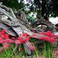 写真: 彼岸花が咲いていた