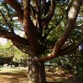明保野公園の大木 (2)