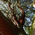 明保野公園の大木 (3)