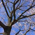 Photos: 3月18日 JR宇都宮線 小金井駅 西口駅前の桜が咲いていました。 (1)