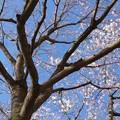 Photos: 3月18日 JR宇都宮線 小金井駅 西口駅前の桜が咲いていました。 (2)