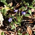写真: フデリンドウ(春を実感する花)