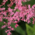 シモツケソウ一つ一つの花