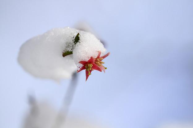 ウグイスカグラの雪帽子