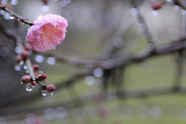 Photos: 雨の紅梅